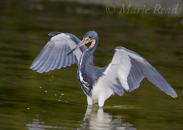 Tricolored Heron (Egretta tricolor), spreading its wings as it hunts for food, Florida, USA