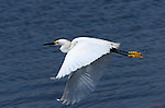 Snowy Egret in Flight Bolsa Chica Wildlife Refuge Southern California