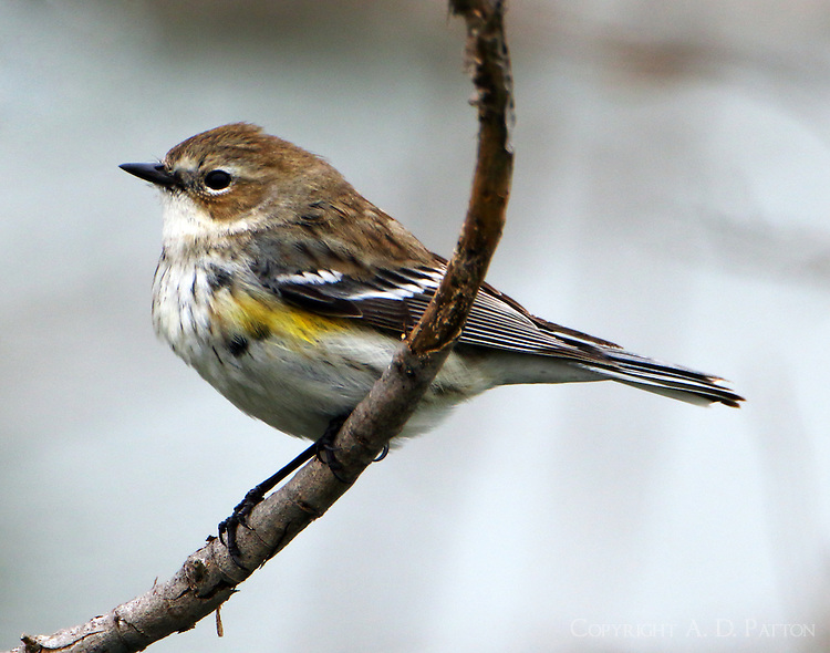 First-winter female yellow-rumped (myrtle) warbler