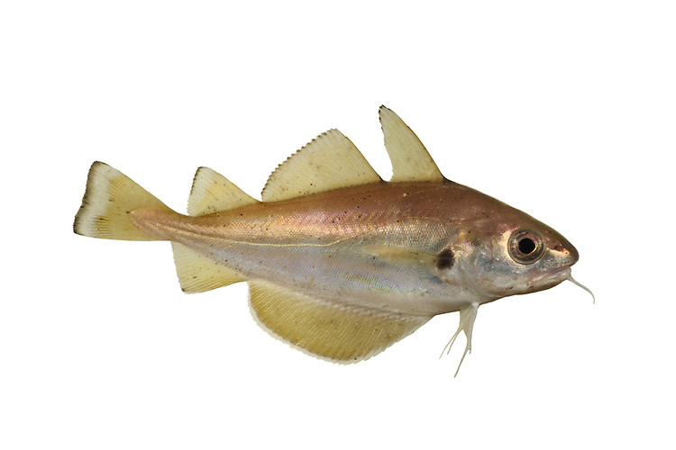 Bib Trisopterus luscus Length to 40cm<br /> Attractive, rather deep-bodied fish with relatively tall fins. Adult is golden brown above, silvery blue below. Fins are yellowish, dorsal and tail fins with dark margins. Has 3 dorsal fins and 2 anal fins. Lower jaw is slightly shorter tha upper, with long barbel. Note dark spot at base of pectoral fin. Widespread and generally common in S and W Britain; absent from much of NE.