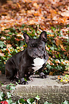 French Bulldog<br />