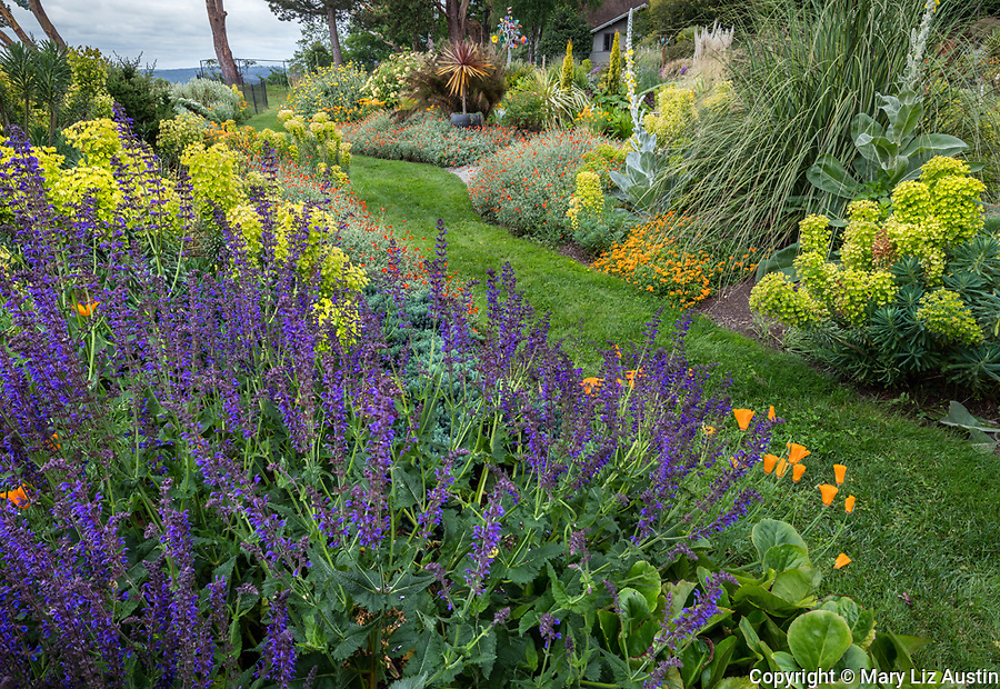 Indianola, WA: Purple salvia borders pathway of summer perennial garden