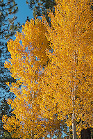 Aspen trees in autumn color, Oregon