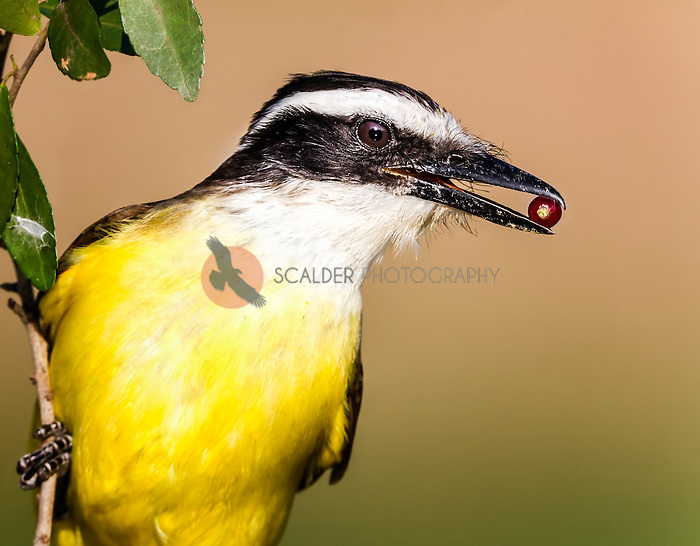 Great Kiskadee head image with red berry in beak