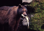 Black bear with salmon at Anan Creek, Tongass NF, AK