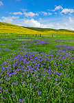 Carrizo Plain National Monument, CA: A field of purple flowering phacelia and yellow flowering monolopia with hillsides covered in goldfields in the distance
