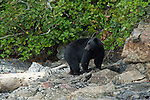 Black bear walking along shoreline in Canada