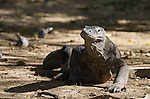 Komodo Dragon, Varanus komodoensis, head on view, Komodo National Park