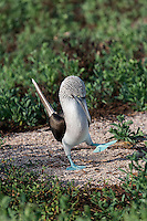 Blue Footed Booby doing the Booby Dance