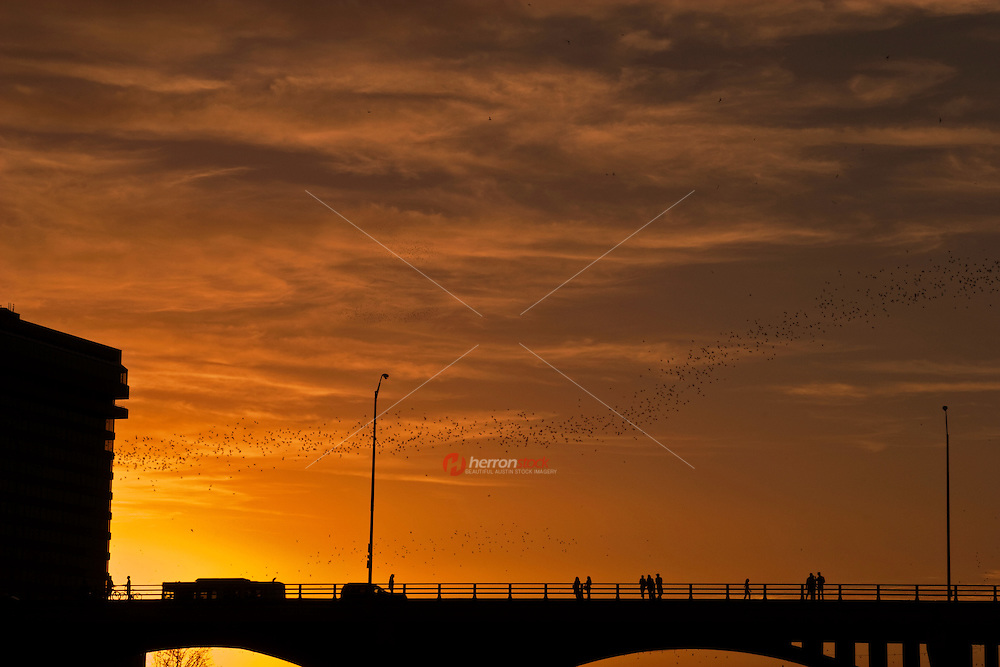 World's largest urban colony of Mexican free-tailed bats emerges to feed at sunset from the Congress Avenue Bridge in Austin, Texas, USA
