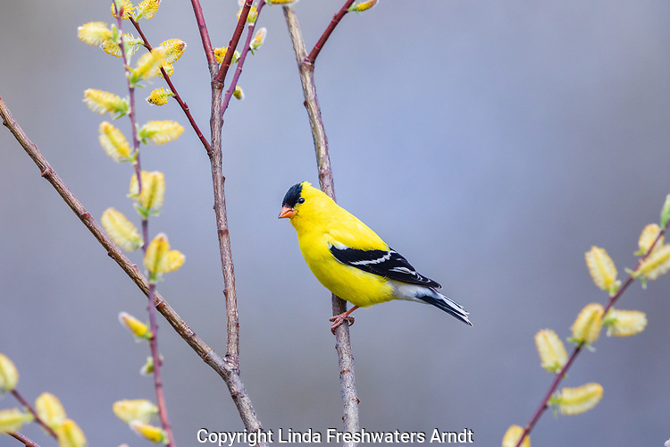 Male American goldfinch perched on a willow branch.