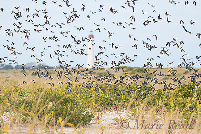 Tree Swallows (Tachycineta bicolor) flock during fall migration flying past Cape May Lighthouse, Cape May, New Jersey