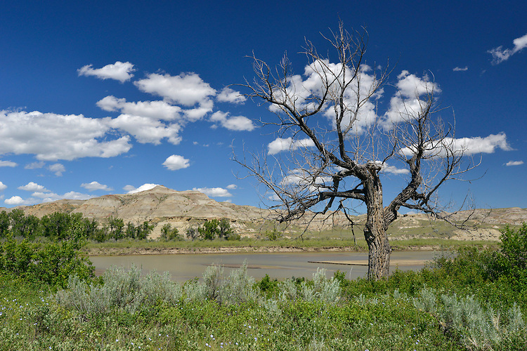 Dead Cottonwood Tree - Populus freemontii - On the banks of the Red Deer River, The Badlands, Dinosaur Provincial Park, Alberta, Canada