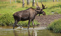 A moose (elk) is seen at the Refuge Pageau in Amos, Thursday August 25, 2016.