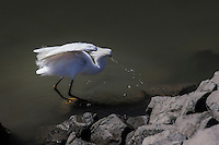 With something in its bill, a feeding Snowy egret snaps its head back and sideways leaving water drops suspended in midair.