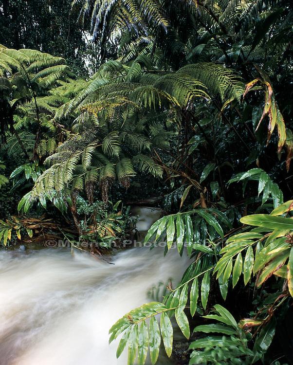 """Ferns and ginger, Hawaii Volcanoes National Park"