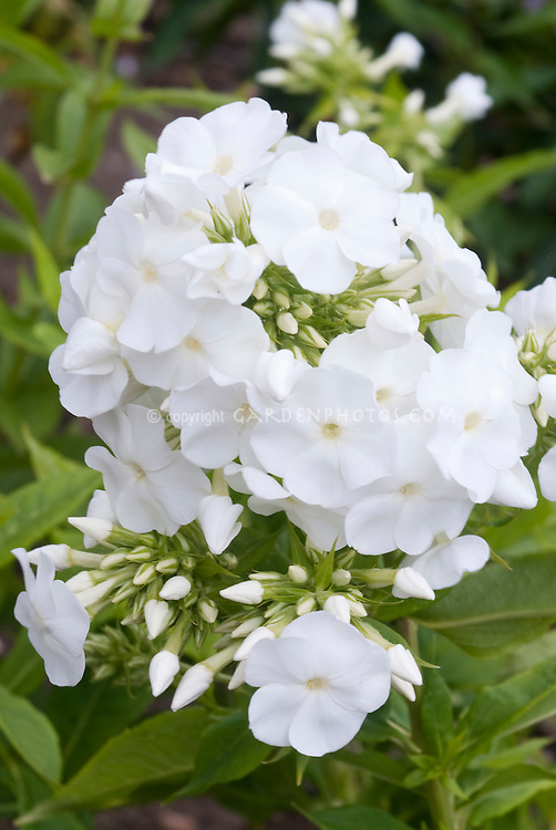 Garden Phlox paniculata Ice Cap in white summer flowers