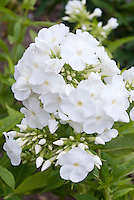Garden Phlox paniculata Ice Cap in white summer flowers