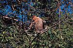 Male proboscis monkey.Nasalis larvatus