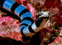 yellow-lipped sea krait, banded sea krait, or colubrine sea krait, Laticauda colubrina, Rocky I, Mergui Archipel, Myanmar (formerly Burma), Andaman Sea, Indian Ocean