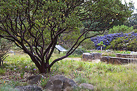 Manzanita shrub (Artostaphylos densiflora) with dark mahogany branches in meadow at Menzies california native plant garden, San Francisco Botanical Garden