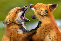 A pair of fox kits fights over a kill during a vibrant summer day on Alaska's north slope.