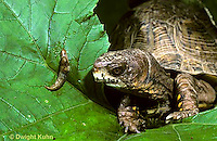 1R42-006x  Eastern Box Turtle - watching slug prey - Terrapene carolina