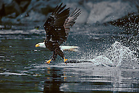 Bald Eagle catching salmon (sockeye)--here it is trying to lift several pounds of fish from the water.  Unlike many fishing birds, should the eagle loose its momentum and end up in the water it would have to swim.  Pacific Northwest.  July.  Looks like it is walking on water to me.