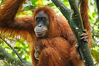 A Sumatran orangutan (Pongo abelii) mother and child in Gunung Leuser National Park in Northern Sumatra.