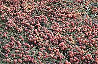 Gewöhnliche Meerträubel, Früchte, Ephedra distachya, Joint Pine, Joint Fir