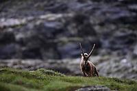 Ibex (Capra ibex) in its habitat. Hohe Tauern National Park, Carinthia, Austria