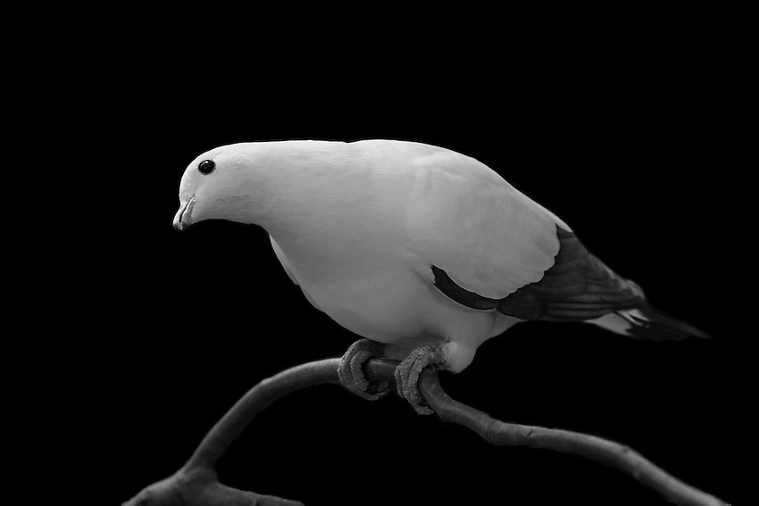 The Torresian Imperial-pigeon (Ducula spilorrhoa), also known as the Nutmeg Pigeon or Torres Strait Pigeon, is a relatively large, pied species of pigeon.