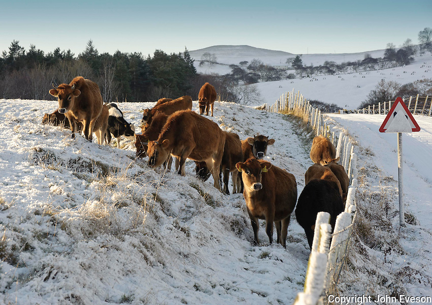 Jersey dairy heifers in snow, Whitewell, Lancashire.