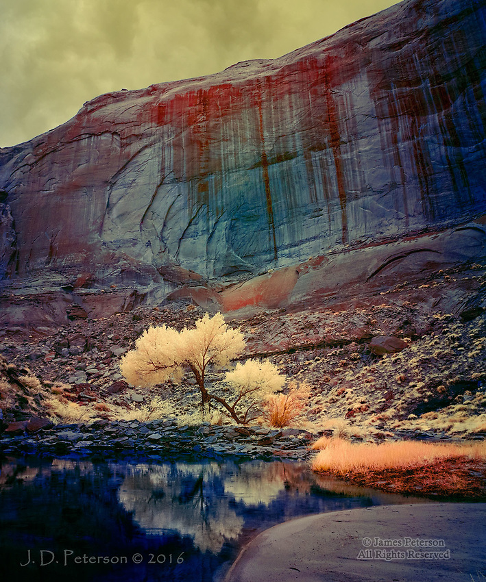 Lone Cottonwood in Pool Canyon, near Lake Powell (Infrared)