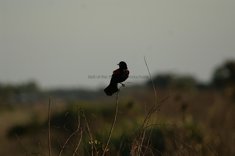 A red-winged blackbird singing to defend its territory.