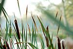Europa, DEU, Deutschland, Nordrhein Westfalen, NRW, Rheinland, Niederrhein, Leuth, Naturpark Schwalm-Nette, Gewaesser, Uferzone, Schilf, Rohrkolben, Kategorien und Themen, Natur, Umwelt, Pflanzen, Pflanzenkunde, Botanik, Biologie, Naturschutz, Naturschutzgebiete, Landschaftsschutz, Biotop, Biotope, Landschaftsschutzgebiete, Landschaftsschutzgebiet, Oekologie, Oekologisch, Typisch, Landschaftstypisch, Landschaftspflege....[Fuer die Nutzung gelten die jeweils gueltigen Allgemeinen Liefer-und Geschaeftsbedingungen. Nutzung nur gegen Verwendungsmeldung und Nachweis. Download der AGB unter http://www.image-box.com oder werden auf Anfrage zugesendet. Freigabe ist vorher erforderlich. Jede Nutzung des Fotos ist honorarpflichtig gemaess derzeit gueltiger MFM Liste - Kontakt, Uwe Schmid-Fotografie, Duisburg, Tel. (+49).2065.677997, archiv@image-box.com, www.image-box.com]