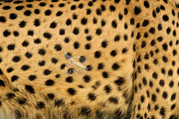Cheetah fur closeup