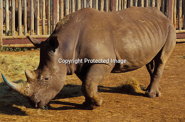 diwlauc00015 .A white rhino waiting to be loaded after being sold  during the yearly wildlife auction on June 21, 2002 by the Ezemvelo KZN wildlife at Hluhluwe-iMfolozi Park in Natal, South Africa. Hluhluwe has the most successful rhino program in the world, and was started about one hundred years ago when there were less than a hundred rhinos left on the entire African continent. Around 1960, when the rhino population had recovered, it became necessary to control the amount of animals. They started to move animals to other areas and sell it to parks and game lodges all over the world. The auction took in almost fifteen million rands, which will be used for wildlife conservation. .©Per-Anders Pettersson/iAfrika Photos.
