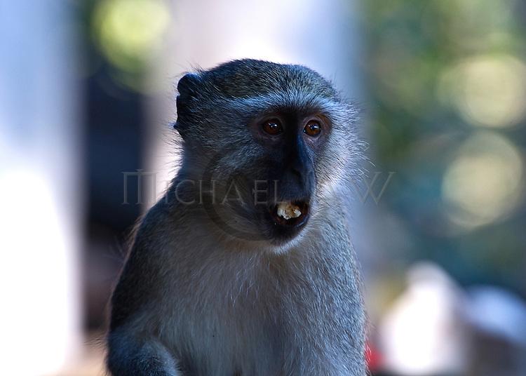 Vervet monkey .Cercopithecus aethiops