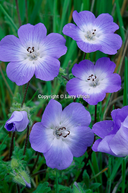 Baby blue-eyes, Navajo Creek Valley<br /> Highway 58<br /> South Coast Ranges<br /> San Luis Obispo County, California