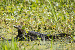 Brazoria County, Damon, Texas; a 2 to 3 foot juvenile American Alligator sunning itself on a submerged log in the slough, surrounded by water plants