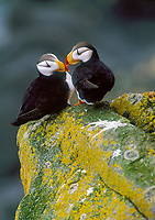 pair of horned puffin, Fratercula corniculata, kissing, St. George Island, The Pribilofs, Alaska, Pacific Ocean
