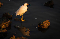 A Snowy egret glowing from with the near-sunset light pauses during its search for food along San Francisco Bay.