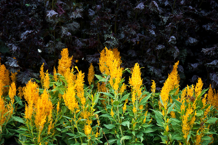 Yellow-orange Celosia argentea var. cristata (Plumosa Group) 'Fresh Look Gold' (Fresh Look Series) grown in front of purple Perilla frutescens var. crispa, early October.