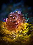 13 June 2014: A Christmas Tree Worm (Spirobranchus giganteus) is seen at Schoolhouse Reef, on the North Shore of Grand Cayman Island. Located in the British West Indies in the Caribbean, the Cayman Islands are renowned for excellent scuba diving, snorkeling, beaches and banking.  Mandatory Credit: Ed Wolfstein Photo *** RAW (NEF) Image File Available ***