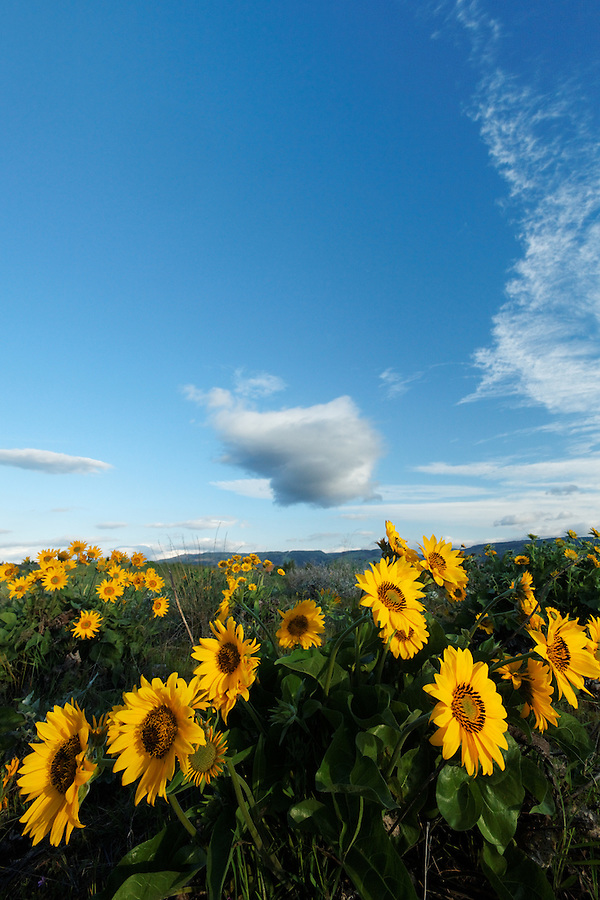 Balsamroot wildflowers in meadow below blue sky, Rowena Plateau, Tom McCall Wildflower Preserve, Rowena, Oregon, USA