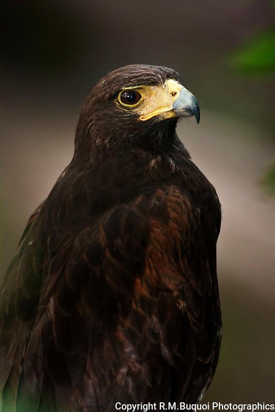 Harris's Hawk Portrait