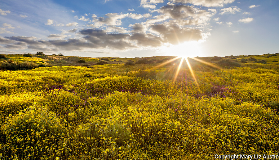 Carrizo Plain National Monument, CA: Mounds of yellow flowering Monolopia