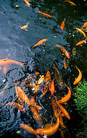 Carp pond located at the Buddhist temple on winward Ohau