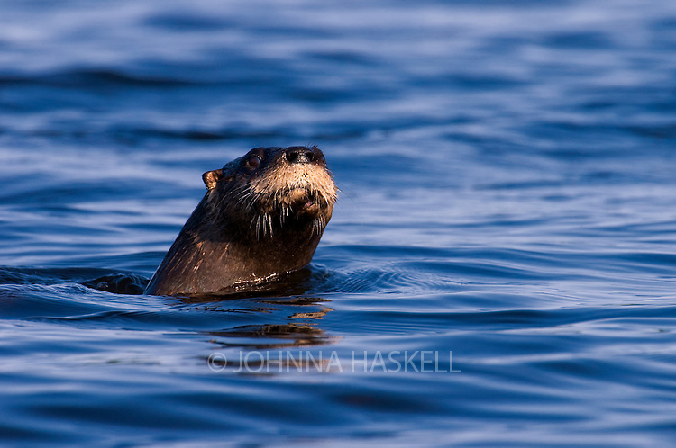 River otter closeup while feeding along the lake shores in Western Maine.